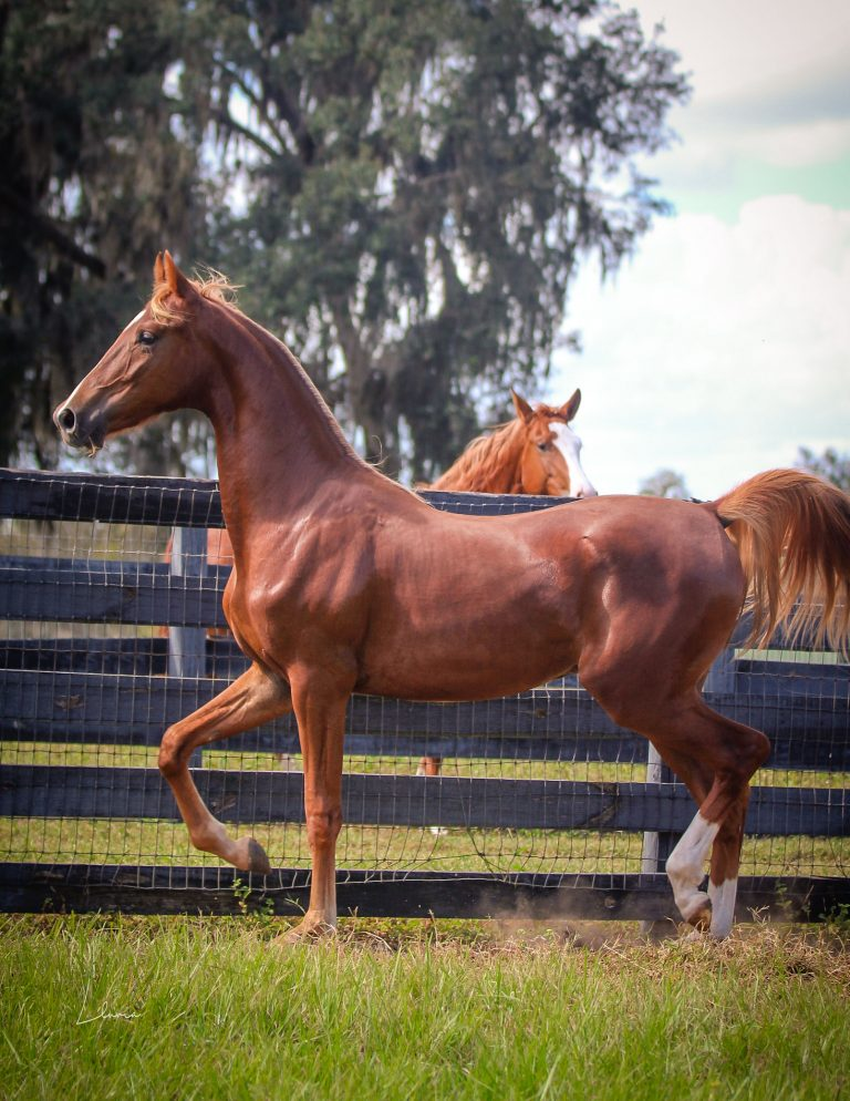 '19 Sir William Robert x Local Woman Colt thumbnail picture