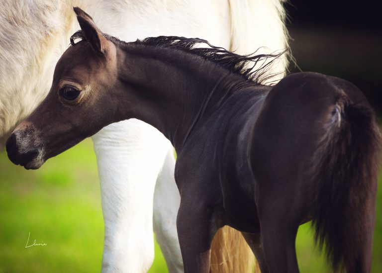 Pearl Jam x Silver Señorita Filly thumbnail picture